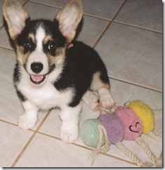 My Corgi's Puppy Days
