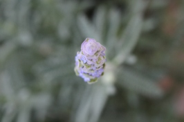 French Lavender with Macro.