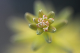 Flowering Aloe Vera