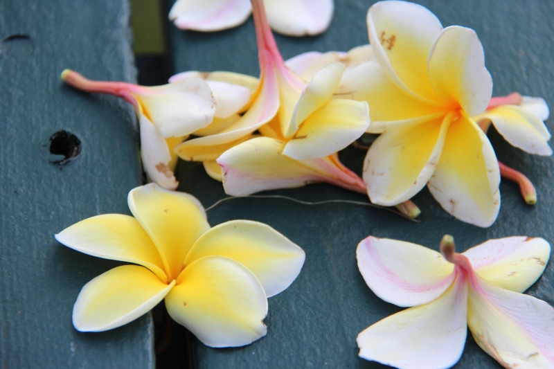 Plumeria: pretty wherever they fall.