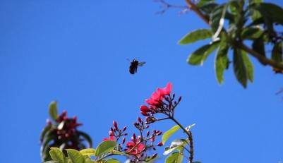 Bee hovering over Jatrapha
