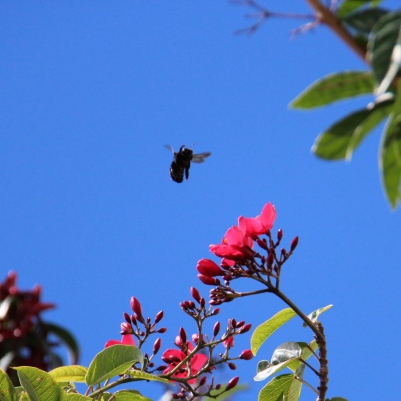 Bee hovering over Jatrapha