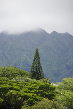 Norfolk Pine in front of Ko'olaus