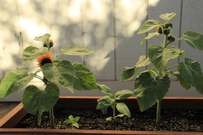When 'Sunny Smile' Sunflowers started to branch, I planted seeds from Elves Blend by Botanical Interests.