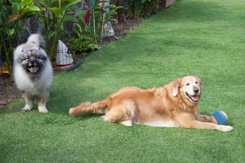 My Golden his happy that the Keeshond is not interested in his ball.