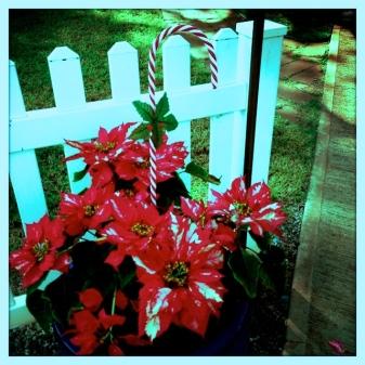 Candy Cane Poinsettia