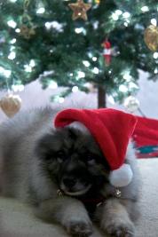 One Santa Keeshond