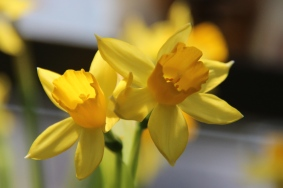 Daffodils in the stores in spring.