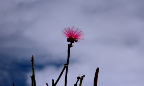 A single bloom of a silk tree.