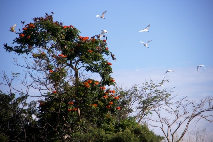 Egrets on the move in Hawaii.