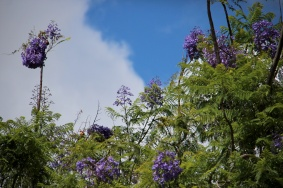 Blooming Jacaranda Tree
