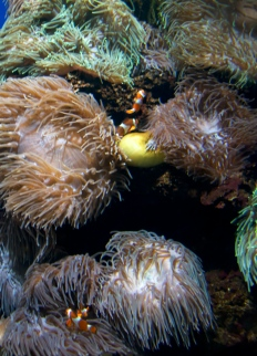 Clown fish and anemones on the move.